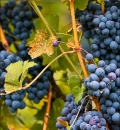 Grapes-200566