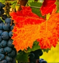 Grapes and Leaf-200577