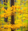Yellow Maple-209766