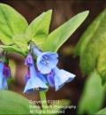Virginia Bluebells-204187