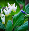 Dutchman's Breeches-204190